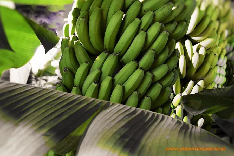 Plataneras de Canarias plátanos Tenerife Las Palmas