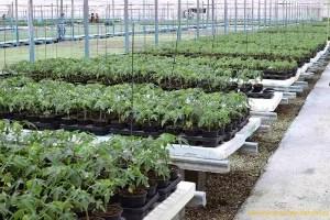 vitalplant-con-planta-papaya
