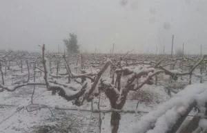 Nieve en la huerta de Murcia. Enero 2017. Parras nevadas