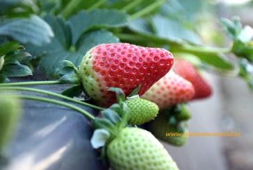 Huelva se prepara para exportar fresas a China