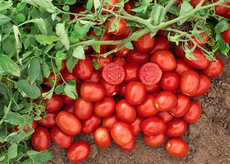 Tomate-N6416_v1-de-Nunhems-Bayer-Cr¡ops-Science