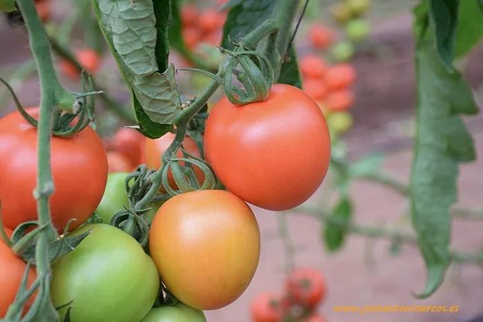 Tomate-pera-de-exportacin-CLX-44124-de-HM-Clause