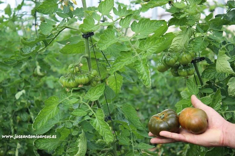 Tomate marmande de Eugen Seed en invernaderos de Almería.
