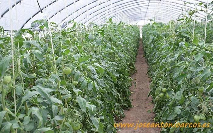 Invernaderos de tomate en El Perelló.