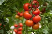 Zeraim piensa en Ganges para el tomate rama