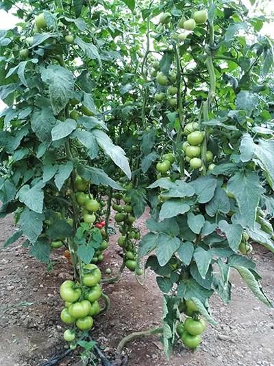 Tomates de Agrinature en Murcia, Kenety.