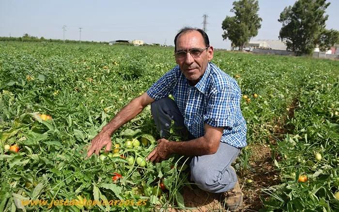 Francisco Villafaina en una de sus parcelas de tomate de industria.
