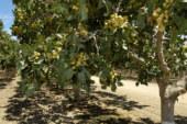 El pistacho en España eleva su superficie un 30%