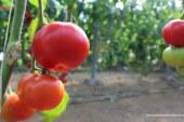 Prevención ante el nuevo virus que amenaza al tomate