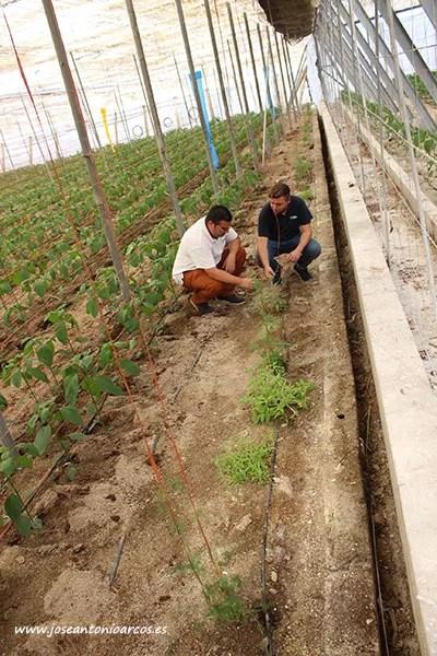 Javier muestra a Jaime algunas de las plantas del kit que ya se han colocado en un invernadero de Cristalplant. /joseantonioarcos.es