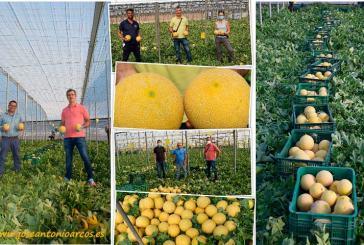 La japonesa Takii consolida su melón galia en Almería