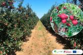 Asfertglobal potencia el cultivo de manzana aplicando susbiofertilizantes