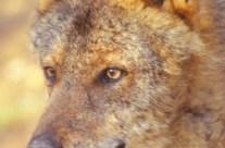 Retrato de lobo Canis Lopus