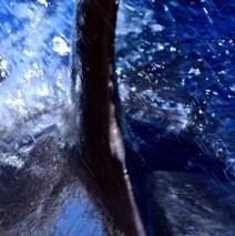 Cetáceos por el Estrecho 3