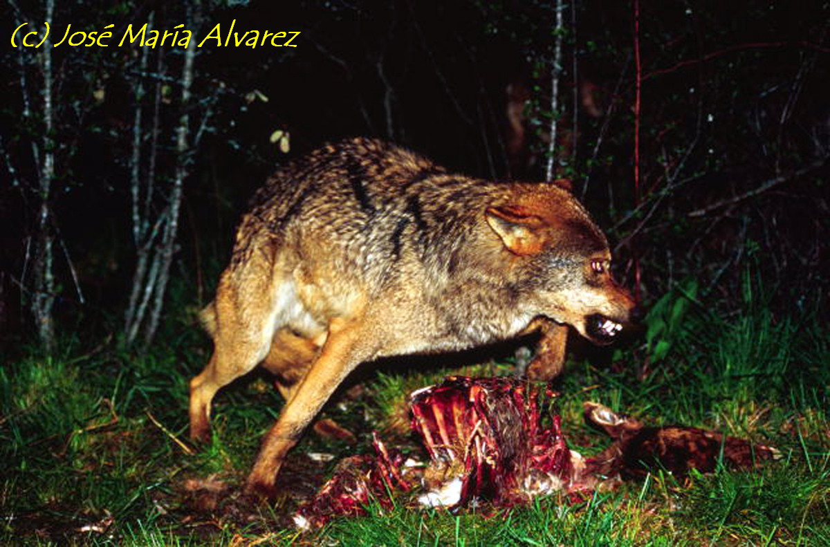 Lobo Cazando 1