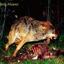 Lobo marcando su presa