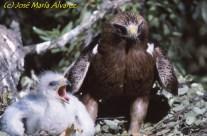 Águila Calzada con su cría