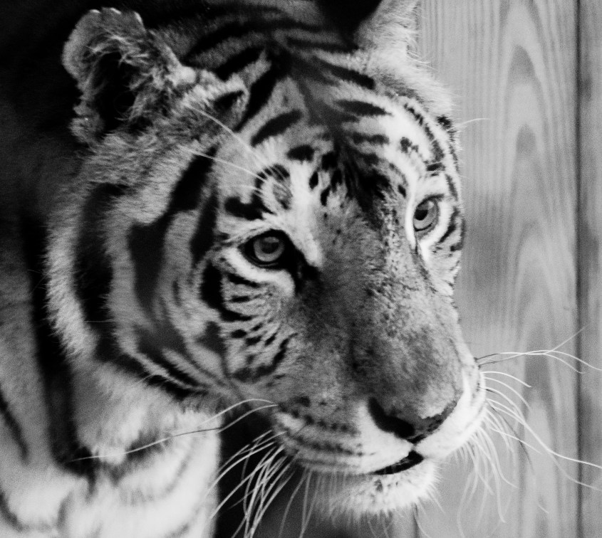 Black and white photo of a tiger.