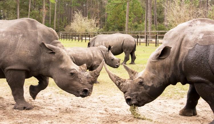 The Rhino Fight