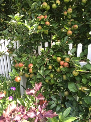 Apples and Fence