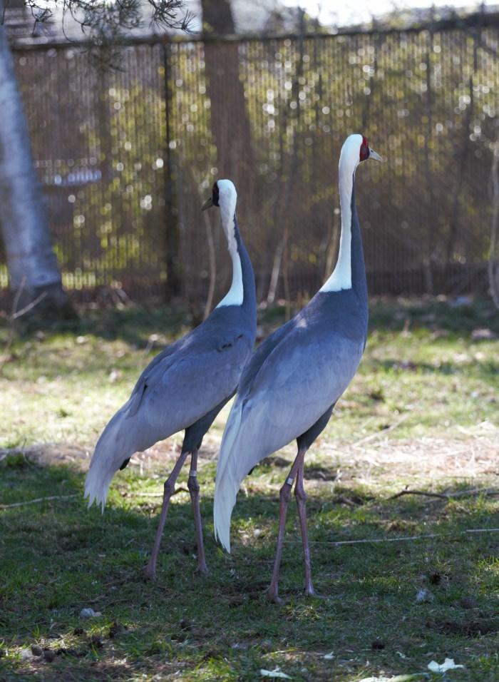 The Cranes