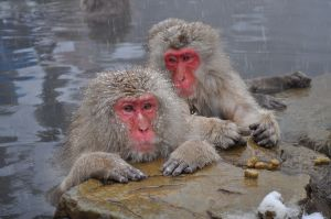 My Snow Monkeys relaxing after a hard-won victory.  And loss.