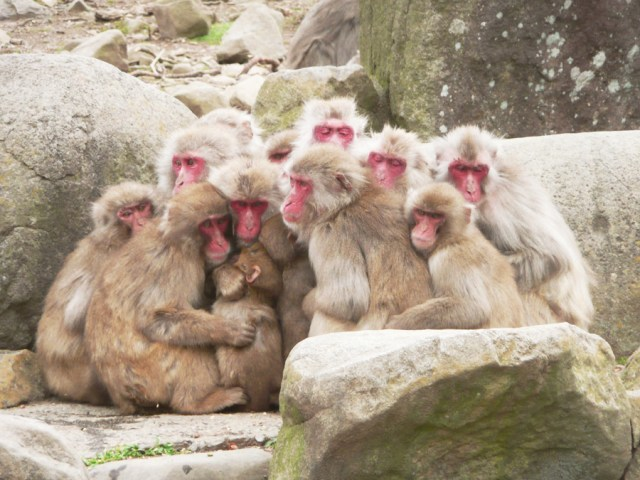 Snow-monkeys