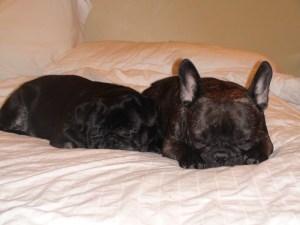 Maximus likes to sleep right beside you while Lulu enjoys snuggling alongside him.