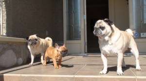 Hanging with the pugs.