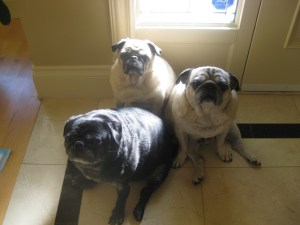 The pugs huddled together to catch that lone strip of sunlight.