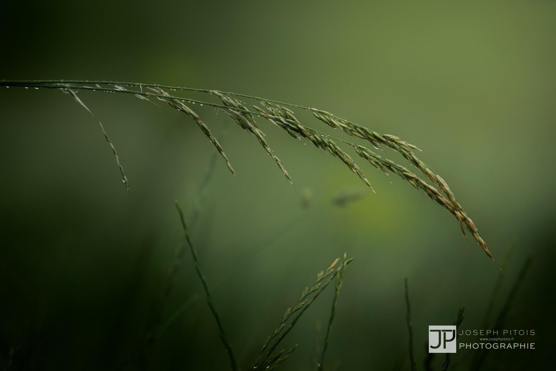 gramines-nature-hombourg-IMG_0813