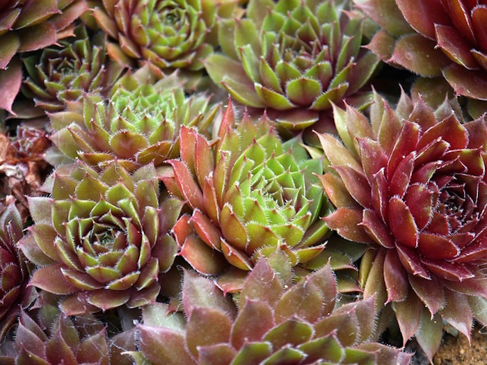succulents-498696_640