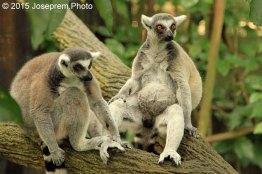 Lemur Mates