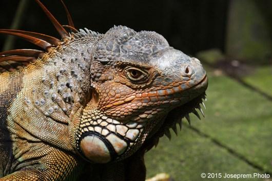 Ol'Lady Iguana