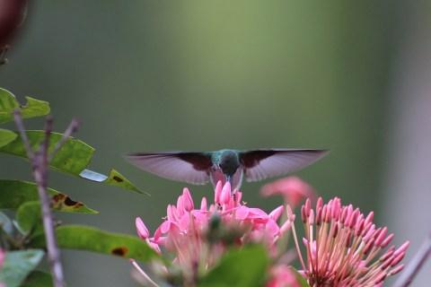 colibrí libando una flores
