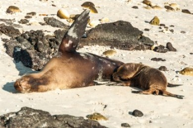 Galapagos - sea lion and pup.