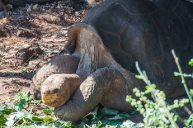Galapagos -Lonesome George.