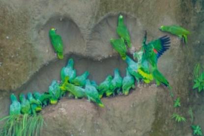 Ecuador - Amazon parrots and salt lick.