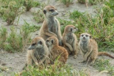 Botswana - Kalahari. Meerkats/