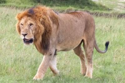 Kenya - Mara lion