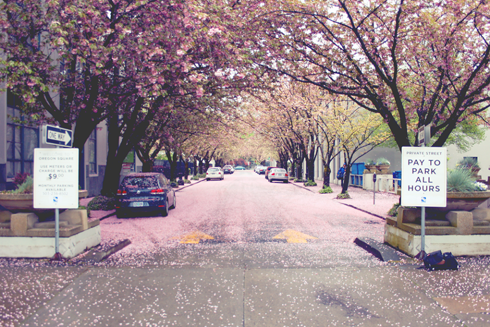 The wind blew all of the blossoming petals off the trees and made this road near the Llyod Center pink.