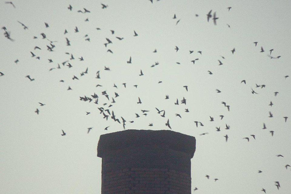 Swifts!