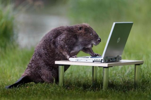 beaver-laptop.jpg