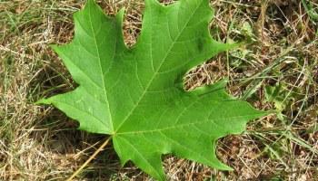 Meet The Maples Norway Maple Josh Fecteau - Norway maple vs sugar maple