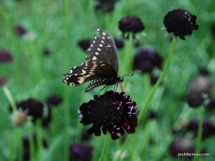 Photo of Black Swallowtail