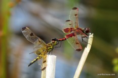 Photo of Calico Pennant pair