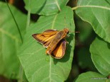 Photo of Delaware Skipper