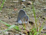 Photo of Eastern-tailed Blue