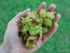 Photo of American Hazelnut clusters in hand