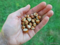 Photo of American Hazelnuts in hand